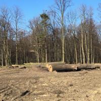 Wycinka starych drzew przy ul. Sznelowiec