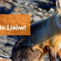 Szczepienie lisów wolno żyjących